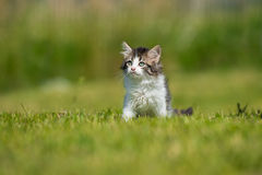 Adorable fluffy kitten walking outdoors Royalty Free Stock Photo
