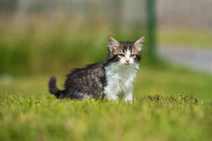 Adorable fluffy kitten walking outdoors Royalty Free Stock Images