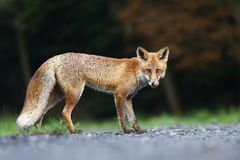 Adorable fox Stock Images