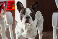 Adorable french bulldog Stock Photography