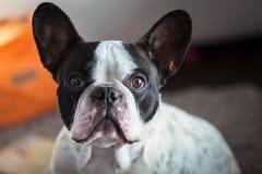 Adorable french bulldog. At home Stock Photo