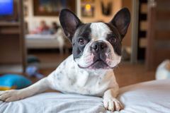 Adorable french bulldog at home Stock Photography
