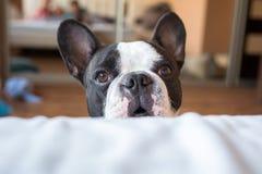 Adorable french bulldog at home Stock Image