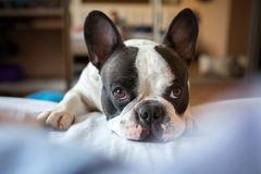 Adorable french bulldog at home Stock Photo