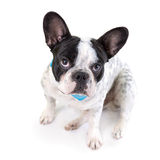 Adorable French bulldog Stock Photos