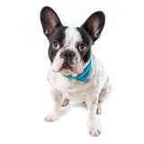 Adorable French bulldog Royalty Free Stock Photography