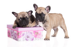 Adorable french bulldog puppies Royalty Free Stock Image