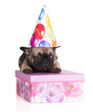 Adorable french bulldog puppy in a birthday hat Stock Photo