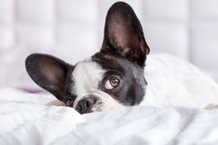 Adorable French bulldog puppy Royalty Free Stock Photography