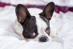 Adorable French bulldog puppy Stock Photos