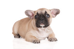 Adorable french bulldog puppy Stock Photography