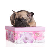Adorable french bulldog puppy Royalty Free Stock Photos
