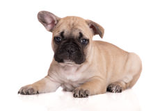Adorable french bulldog puppy Stock Photo