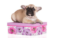 Adorable french bulldog puppy Royalty Free Stock Image