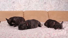 Adorable french bulldog puppy sleeping on the couch. Adorable french bulldog puppy sleeping on the couch stock footage
