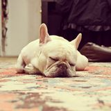 Adorable French Bulldog Sleeping Royalty Free Stock Photography