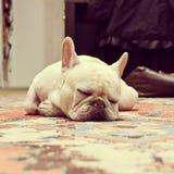 Adorable French Bulldog Sleeping. Instagram filtered style image of a sleeping French Bulldog in New York City Royalty Free Stock Photography
