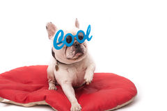 Adorable french bulldog with sunglasses Stock Photo