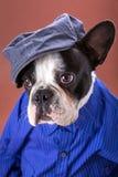 Adorable french bulldog wearing blue shirt Stock Photo