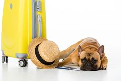 Adorable french bulldog with yellow suitcase, straw hat, ticket and passport. Isolated on white royalty free stock photo