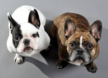 Adorable French Bulldogs Siblings. NEW YORK - OCTOBER 21:  Two adorable French Bulldogs in New York City on October 21, 2010. The French bulldog is now America's Stock Photo