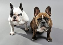 Adorable French Bulldogs Siblings. NEW YORK - OCTOBER 21:  Two adorable French Bulldogs in New York City on October 21, 2010. The French bulldog is now America's Royalty Free Stock Photography