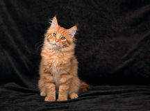 Adorable fun serious red solid maine coon kitten sitting with be Royalty Free Stock Photos