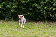 Adorable Funny Dog With His Favorite Ball. Adorable Funny Dog Running With His Favorite Ball royalty free stock photo