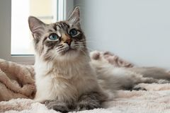 Adorable furry cat of seal lynx point color with blue eyes is lying on a pink blanket near to the window. Adorable furry cat of seal lynx point color with blue Royalty Free Stock Image