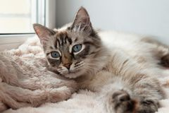 Adorable furry cat of seal lynx point color with blue eyes is resting on a pink blanket. stock photography