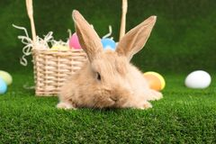 Adorable furry Easter bunny near wicker basket and dyed eggs. On green grass stock photo