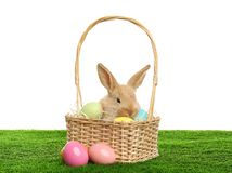 Adorable furry Easter bunny in wicker basket and dyed eggs on green grass against white. Background stock photos
