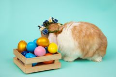 Adorable furry Easter bunny in wicker basket and dyed eggs on tiffany blue background stock photography