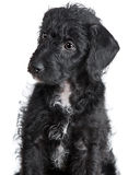 Adorable Gato-uno-Doodle el perrito Fotos de archivo