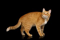 Gorgeous Ginger Cat on Isolated Black background. Adorable Ginger Cat Standing and looking up with pleased face on Isolated Black background, side view stock photos