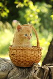 Adorable ginger kitten sitting in the basket Royalty Free Stock Images