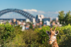 Adorable giraffe with Sydney Harbour Bridge on the background. Adorable giraffe with iconic Sydney Harbour Bridge on the background Stock Photos