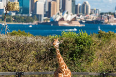 Adorable giraffes at Taronga Zoo with views over Sydney Harbour. Sydney, Australia - July 23, 2016: Adorable giraffes at Taronga Zoo with beautiful views over Stock Photography