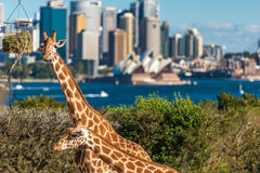 Adorable giraffes at Taronga Zoo with views over Sydney Harbour. Sydney, Australia - July 23, 2016: Adorable giraffes at Taronga Zoo with beautiful views over Stock Image