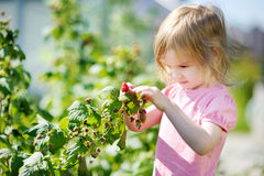 Adorable girl picking raspberries in a garden Royalty Free Stock Images