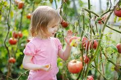 Adorable girl picking tomatoes in a garden Royalty Free Stock Images