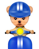 Adorable girl of yorkie sitting on a motorbike Stock Image