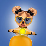 Adorable girl of yorkie sitting on a motorbike Stock Photography