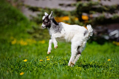 Adorable goat kid jumping outdoors Royalty Free Stock Photography