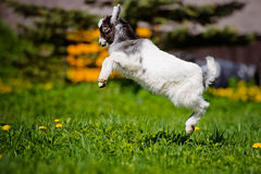 Adorable goat kid jumping outdoors Royalty Free Stock Photos