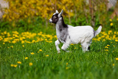 Adorable goat kid running outdoors Royalty Free Stock Photo