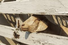 Adorable goat poking its head out the fence. A close up of a cute goat with its head peering through the wooden fence in north Idaho royalty free stock photography