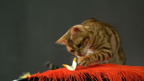 Adorable Gold Bengal Cat And Butterfly stock video