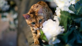 Adorable Gold Bengal Cat And Butterfly stock video footage