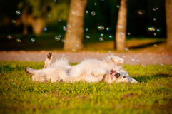 Adorable golden retriever dog rolling on the grass Royalty Free Stock Photography